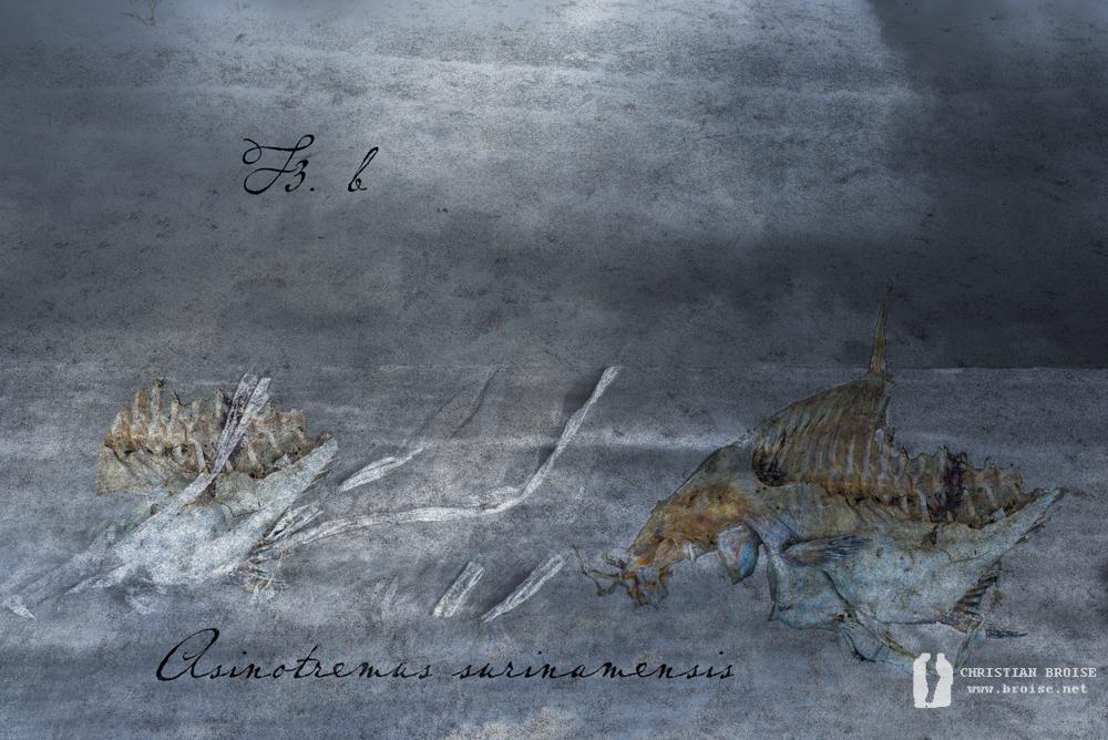 Ichtyologie. Anisotremus surinamensis.Oeuvre originale: tirage Fine Art de l'artiste Christian Broise