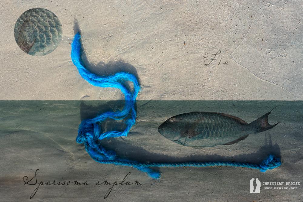 Sparisoma amplum. Oeuvre originale: tirage Fine Art de l'artiste Christian Broise