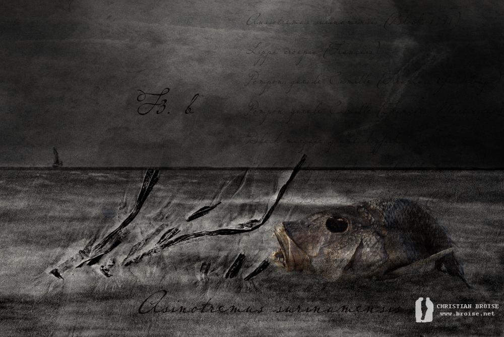 Anisotremus surinamensis. Oeuvre originale: tirage Fine Art de l'artiste Christian Broise