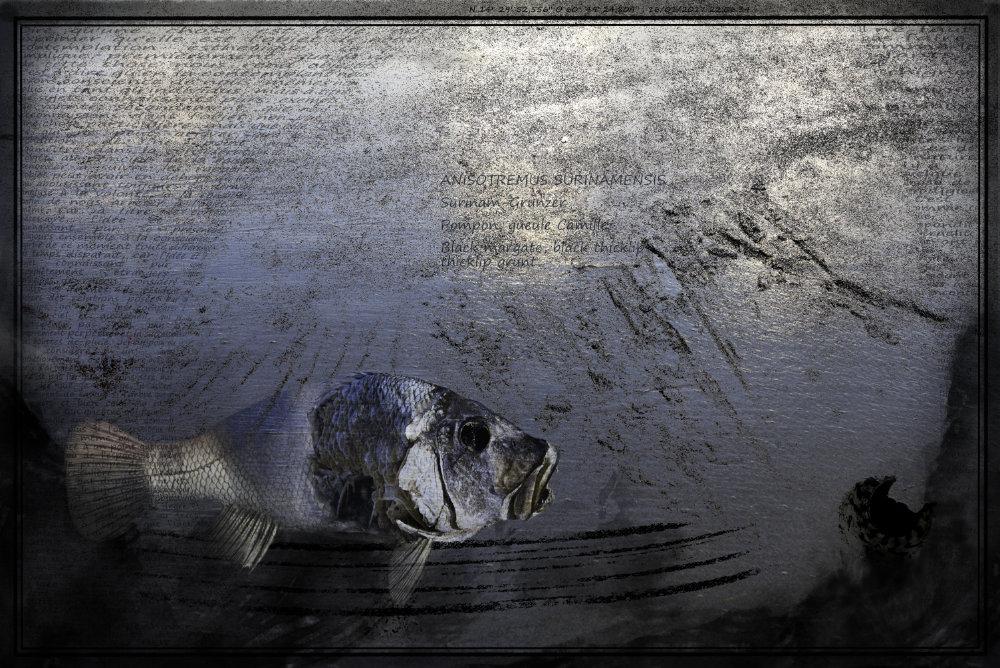 Anisotremus Surinamensis IV. Oeuvre originale: tirage Fine Art de l'artiste Christian Broise